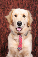 Dog - Golden Retriever IMG_7633 (^hSirius) Tags: christmas new xmas party portrait favorite dog pet pets cute male 20d dogs animal animals goldenretriever canon hair puppy studio fur nose golden interestingness big paw corgi eyes furry long canon20d year longhair adorable favorites tie ears retriever dachshund professional explore blond views doggy cutedog breed favourite cutedogs bigears cutest doggie beautifuleyes studioportrait beautifuldog happynewyear   petportrait longhaired cutepuppy animalportrait studiophotography dogportrait dogtie christmasdog businesswear handsomedog beautifulportrait beautifuldogs largeears dogwearingtie businessweardog