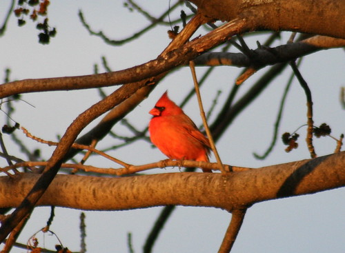 Northern Cardinal Male Getting Some Sun