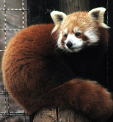 Red Panda (firecat) (hadowdancer) Tags: interestingness panda explore redpanda endangered animalplanet firecat animaladdiction animalpals
