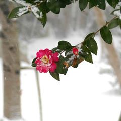 Camellia in the snow (yoshiko314) Tags: park pink winter red snow flower kobe camellia arima