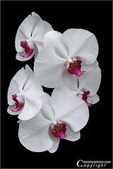 Orchid Symphony (Tom