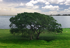 El gran rbol / The big tree (View in large) (Davichi) Tags: sky lake tree water grass birds clouds ro river landscape atardecer agua cows paisaje aves lagoon panoramic pasto cielo nubes rbol tabasco laguna vacas panormica tenosique