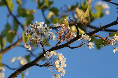Tree Blossoms