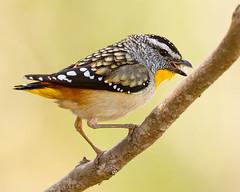 Spotted Pardalote (Jon Thornton) Tags: wild bird nature birds animal nikon searchthebest d2x australia australianbirds jonthornton
