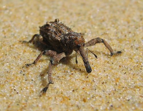 Rüsselkäfer / Weevil --- beachboy