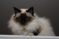 Hello (Colin Thomas) Tags: beautiful cat birman canonef28105mmf3545usm kissablekat