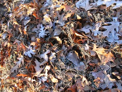 Hoary Leaves