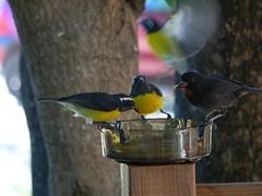 Coereba flaveola (pancrat) Tags: birds oiseaux guadeloupe bananaquit coerebaflaveola sucrier