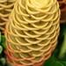 Macro de Gengibre - Gengibre-magnífico - Sorvete - Sorvetão (Zingiber spectabilis) - Microfono - Beehive Ginger's  Macro 1 232 - 10