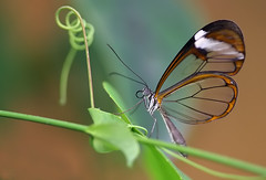 the butterfly with the translucent wings (Sabinche) Tags: butterfly interestingness bravo searchthebest quality explore papillon botanicalgarden soe sabinche glasswing gretaoto outstandingshots specnature animalkingdomelite abigfave anawesomeshot colorphotoaward impressedbeauty flickrplatinum onlyyourbestshots explore28012007 interestingness28012007 wowiekazowie diamondclassphotographer flickrdiamond