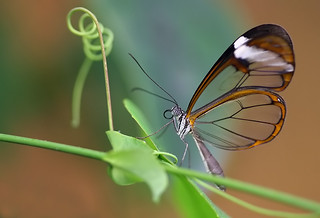 the butterfly with the translucent wings