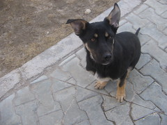 IMG_5404 (batteryboy1) Tags: dogs bulgarian