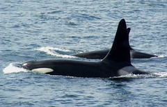 Power (Orcasforever) Tags: family pod bc whale orca killerwhale grampus blackfish voicesinthewilderness johnstonestrait northernresidents wpod protectthewhales