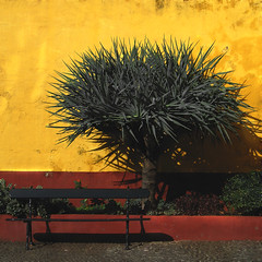 Dragon in yellow (Dracaena draco) (Mr.Enjoy) Tags: shadow red urban color colour tree green heritage portugal yellow wall museum bench design europe colours dragon fort lifestyle enjoy ochre madeira funchal dracaenadraco contemporaryartmuseum dragontree madeiraisland dragoeiro fortedesotiago