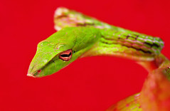 Horizontal (Furryscaly) Tags: iris red color colour macro green eye colors animal closeup colorful pretty colours dof bright reptile snake vibrant vivid ivy depthoffield eyeball scales colourful serpent captive waterdroplets poised serpentine animalia herp captivity venomous herpetology redbackground greensnake reptilia colubrid scaly colubridae vinesnake whipsnake chordata serpentes herptile narrowfocus greenvinesnake ophidia asianvinesnake squamata herpetoculture ahaetulla exoticpet ahaetullaprasina orientalwhipsnake taxonomy:class=reptilia taxonomy:kingdom=animalia taxonomy:phylum=chordata taxonomy:order=squamata taxonomy:suborder=serpentes opisthoglyphous rearfanged taxonomy:family=colubridae taxonomy:binomial=ahaetullaprasina taxonomy:common=asianvinesnake taxonomy:genus=ahaetulla