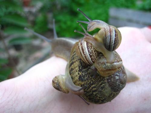 familia de caracoles