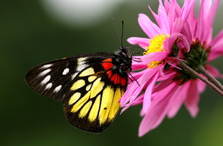 Butterfly and Chrysanthemum