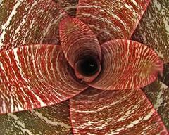 Bromelia II (Daniel Schwabe) Tags: red brown leaf bromelia 50club superbmasterpiece