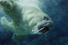 Its...Superbear! (ucumari) Tags: animal mammal nikon north polarbear carolina february nczoo 2007 ursusmaritimus animalkingdomelite ucumariphotography itsazoooutthere