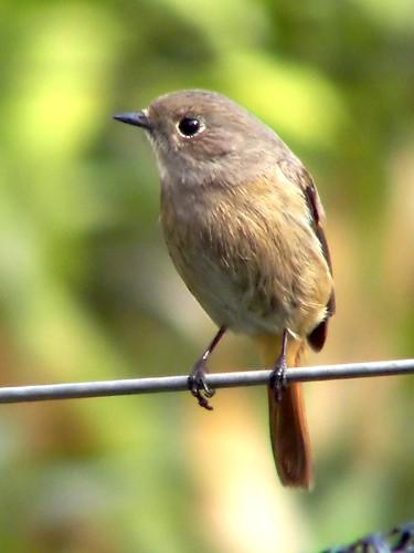 Daurian Redstart Chaimarrornis auroreus, Phoenicurus auroreus Jo-bitaki, joubitaki, Jou-bitaki, mon-tsuki-dori 딱새