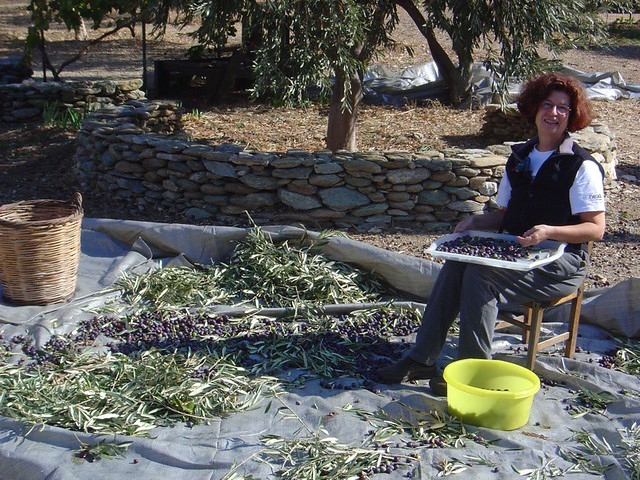 Aglaia, selecting olives.