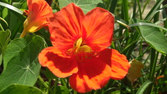 Dark Orange Nasturtium (Swami Stream) Tags: flowers india beautiful spring colorful closeups springflowers swami northindia uttarpradesh swaminathan intresting swamistream swamistreamcom darkorangenasturtium