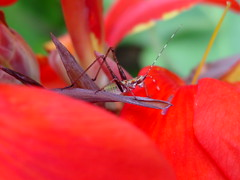 Red Canna and tiny grasshopper (Saveena (AKA LHDugger)) Tags: park red 15fav plant flower nature animal fauna bug garden insect ilovenature flora all outdoor no lisa any h rights grasshopper form written myfavorite without usage animalplanet reserved canna allowed consent dugger houstonist saveena  saveena
