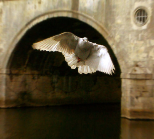 Pigeon framed by arch of Pulteney Bridge by Beachy