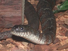 Northern Water Snake (2003)