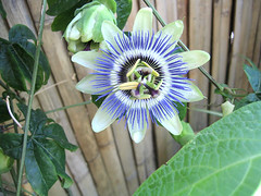 passionflower (jelens) Tags: flowers passiflora