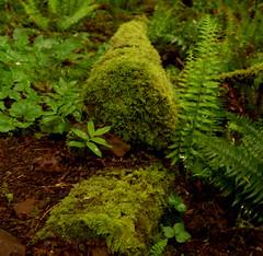 broken_off (sillydog) Tags: 2005 oregon botany alsea green moss douglasfir fern decomposition forest scienceinaction