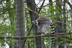 I Pounce From Above! (Ninox) Tags: animals localzoo