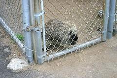 Porcupine (Ninox) Tags: animals localzoo