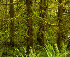 four_more (sillydog) Tags: 2005 fern tree green oregon 510fav forest ilovenature moss magic botany douglasfir alsea zip97324