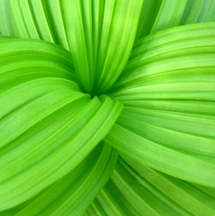 Green Pleats (MaureenShaughnessy) Tags: plants green texture nature topv111 1025fav montana greenisbeautiful topv444 wildflower greenline nativeplants pleats reallyreallygreen montanaraventop20 greenmontanaset colorhsvavg45cbc4 colorhsvmed44cacb colorrgbavg62c428 colorrgbmed68cb2a utatagreen 0x65c42c