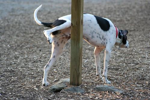 В Дании писающая собака получила удар током