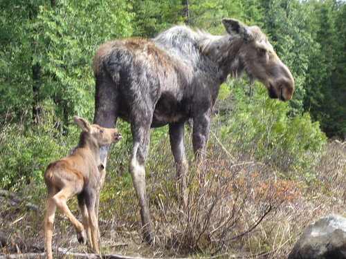 A cow moose with calf