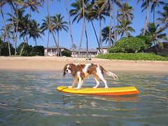 See Spot Surf (Spot!) Tags: dog beach puppy hawaii king surf oahu surfer charles cavalier honolulu cavalierkingcharlesspaniel cavalierkingcharles kahala kingcharlesspaniel cowabunga eddiewouldgo kahalabeachpark