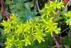 Sedum spathulifolium (Dale Hameister) Tags: california nature succulent wildflower sedum carmelvalley sedumspathulifolium pacificstonecrop dalehameister