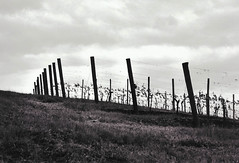 vines (famousweirdonion) Tags: bw pentaxk1000 davidhill vineyards grapevines grapes forestgrove