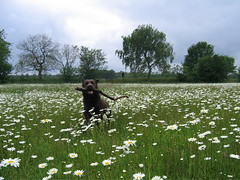 A daisy a day........ (MaureenduLong) Tags: indy dog labrador margriet daisy flower bloem waterwingebied assen maureen
