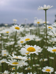 A daisy a day........ (MaureenduLong) Tags: margriet daisy flower bloem waterwingebied assen maureen