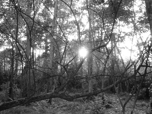 black and white pictures of trees. Black and white sun through