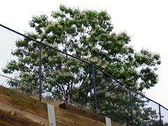 horse chestnut tree near Roswell Mill (mimbrava) Tags: mimbrava roswellga atlantaphotostroll5 historicroswell setatlantaphotostroll5roswellgajune52005