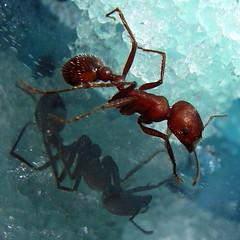 Bearded Lady (jurvetson) Tags: harvester ant hair nasa gel macro 2cm topf25 top20macro sorryevaluation 500plus topf50 500plus20
