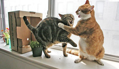Fight Club (Kevin Steele) Tags: toby orange cats window cat wow top20animalpix topf50 orangecat box tabby topv1111 top20catpix xena catfight fightclub catgrass orangeandwhitecat