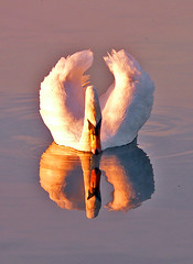 Natural Narcissism!! (tarotastic) Tags: uk reflection bird london nature topf25 wow interestingness swan superb interestingness1 reservoir 600 400 200 fv10 hi 100 welsh 300 500 harp 50 notfv10 over10fav