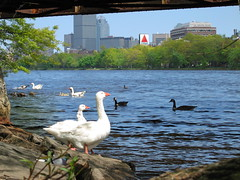 Citgo Geese (Bluepeony) Tags: geese goose duck ducks white gosling goslings hatchling hatchlings redsoxnation citgo sign