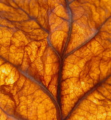Sycamore Leaf (Clearly Ambiguous) Tags: autumn brown macro leave backlight catchycolors ab vein transparent i2005 colorhsvavg11e2bc colorhsvmed12e6c4 colorrgbavgbd5a15 colorrgbmedc45f13 0xbc5e15