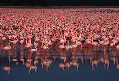 Lake Nakuru, Kenya (_desertsky) Tags: africa film bravo kenya wildlife flamingo itsongselection1 riftvalley arkofwildlife itsongwildafrica fujiprovia400 lakenakuru itsongnikonf100 easternafrica nikonf801s 1000v40f specnature nginationalgeographicbyitalianpeople safariguideseye